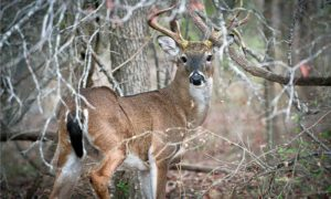 Whitetail Deer Hunting in Texas – Guide and Laws